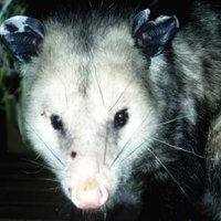 How to get a possum out of my attic ehow - How to get rid of possums in the garden ...