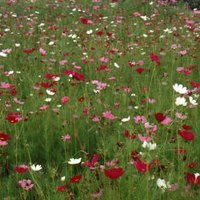 Can You Grow Poppy Seeds For Food