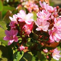 Problems with indian hawthorn with pictures ehow for Indian food hawthorne