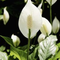 what are the causes of the leaf tips turning brown on a peace lily ehow. Black Bedroom Furniture Sets. Home Design Ideas