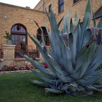 How To Save A Dying Agave Plant Ehow