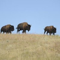 american great plains animals - photo #39