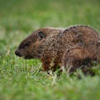 how to get rid of woodchucks with ammonia