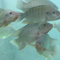 Fastest growing edible freshwater fish for ponds ehow for Types of edible fish