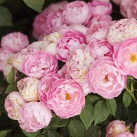 how to cut rose bushes