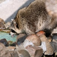 How to keep raccoons out of my pond ehow How to keep raccoons out of garden