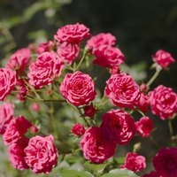 Different Types Of Rose Bushes Ehow