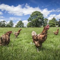 Keeping Chickens Out Of Flower Gardens Ehow