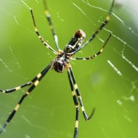Are black yellow garden spiders dangerous with pictures ehow for Yellow garden spider poisonous