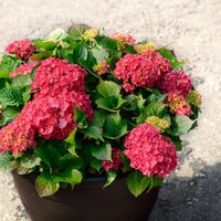 How to grow hydrangeas in containers ehow - Care potted hydrangea ...