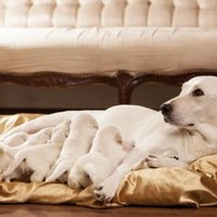 How Quickly Can You Tell A Dog Is Pregnant