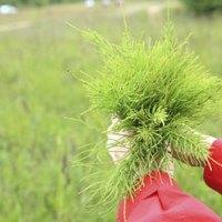 how to kill horsetail rush