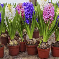 what to do with hyacinth bulbs after they flower ehow