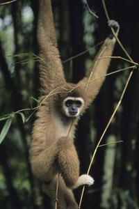 Facts on the Gibbon | ...