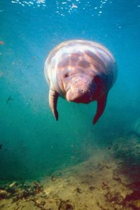Manatees are closely related to elephants.