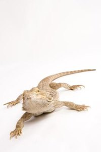 Will Bearded Dragons Survive If The Uv Light Broke