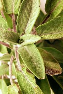 Sage contains a number of biologically active compounds.