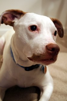 Pit bulls are among the dogs deemed by insurance companies as most likely to attack.