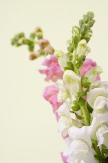 Snapdragons bloom in a variety of colors.