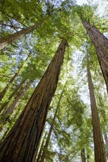 Coast redwood trees can grow 50 to 120 feet tall.
