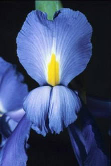 Irises grow from rhizomes, left in the ground from one winter to the next.