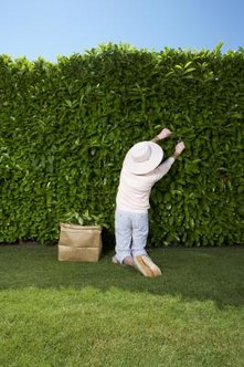 Photinia grows rapidly to produce a tall, wide hedge.
