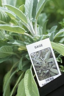 Sage plants damaged by insects or fungi produce fewer usable leaves.