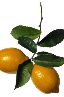 Citrus trees are susceptible to scales.