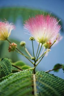 Interesting flowers enhance the beauty of a mimosa tree.