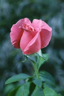 Get rid of pesky rose aphids without using chemicals.