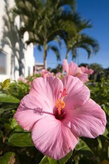 Beautiful hibiscus bushes can be propagated through plant cuttings.