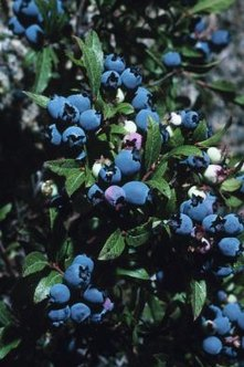 Cross-pollination of blueberries yields larger and more bountiful fruit.