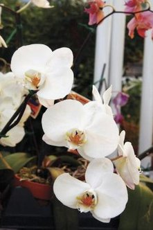 Moth orchids prefer coarse potting mixtures and won't survive in fine dirt.