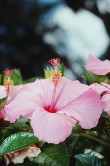 Hibiscus attracts butterflies and hummingbirds.