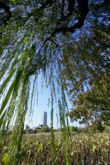 Weeping willow trees are also known as Babylon or Peking willows.