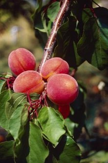 Keeping peach trees well-pruned makes fruit larger and juicier.