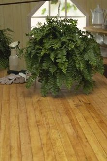 Overwinter frost-tender ferns indoors.