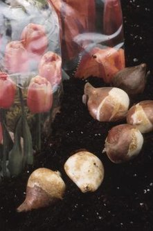 Tulip bulbs stored improperly may sprout prematurely.