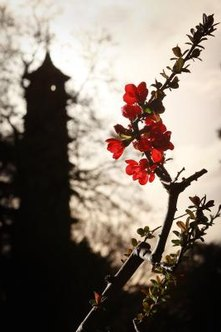 A flowering quince blooms at Kew Gardens in London.