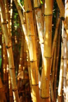 Bamboo canes vary in color from golds to greens.