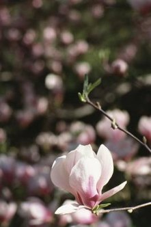 Japanese magnolia flowers are various shades of pink or white.