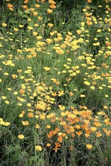 California poppies tolerate drought well, growing wild across the state.