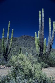 Totem pole cactus grows multiple columns from a single base, like this cactus in Baja, Mexico.