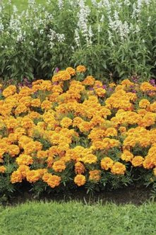 A full-sun location encourages more flowers in one growing season.