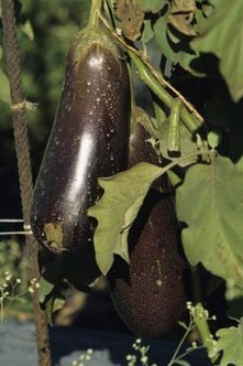 Increased pollination rates produce larger eggplant yields.