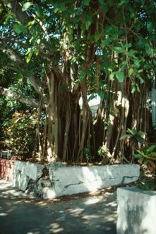 Weeping fig trees are a type of ficus often kept as an ornamental plant in homes and offices.