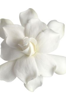 Gardenia produce full, white or ivory-colored blooms.