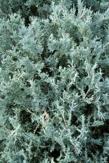 Creeping juniper adds a pleasant fragrance to your yard.