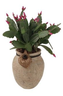Holiday cacti are the most common epiphytic cacti commercially available.