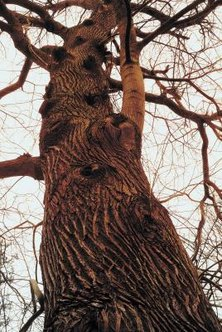 Oak trees require a deep-growing taproot to support their large size.